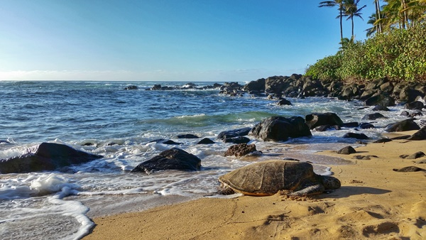 Oahu: Laniakea Beach aka Turtle Beach is an Oahu beach on the North Shore, Hawaii