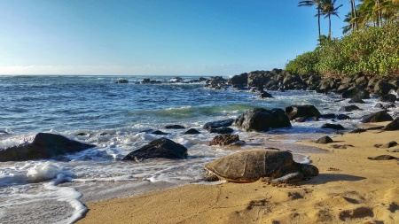 Where to see turtles in Oahu: This is a turtle at Laniakea Beach aka Turtle Beach