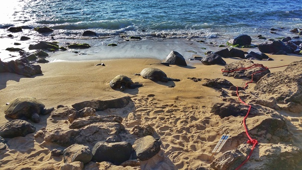 Where to see turtles in Oahu: This is Turtle Beach on the North Shore, with sea turtles basking at sunset, one of the best times to see turtles at Laniakea Beach