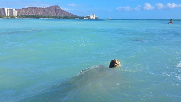 Where to see turtles in Oahu: Turtles swimming in Waikiki near Outrigger Reef Hotel, Sheraton Waikiki, Hilton Hawaiian Village, Hawaii