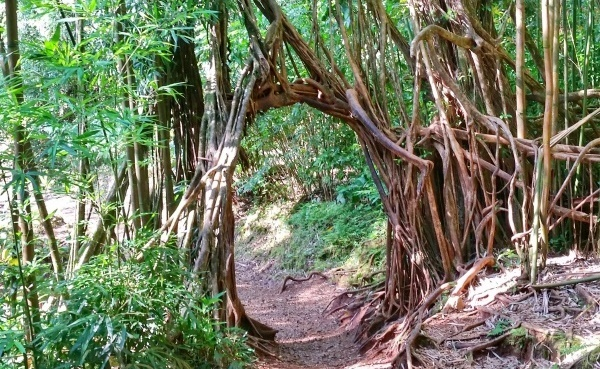 Oahu: Manoa Falls Trail is an Oahu hike near Honolulu, Hawaii