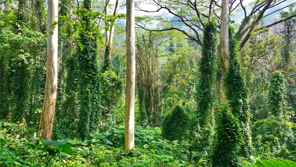 How to get to Manoa Falls by bus: Manoa Fall Trail to waterfalls, Oahu, Hawaii