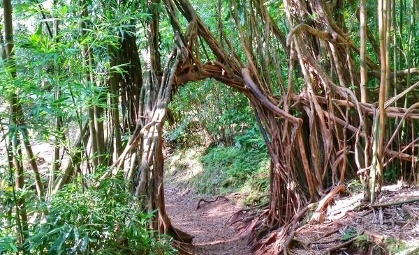 Manoa Falls Trail: Banyan trees, Oahu, Hawaii