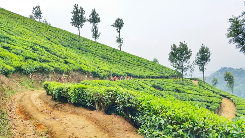 Munnar itinerary, 3 days: Munnar tea plantation trek. Best things to do in Munnar, Kerala, India.